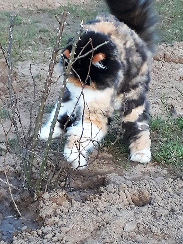 Katze spielt mit Heckenrose