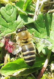 Die erste gesichtete Biene