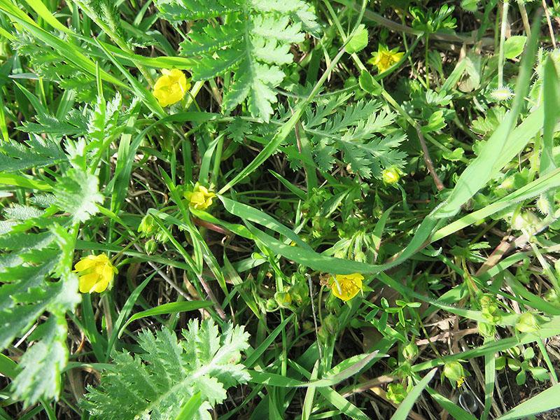 Gelbe Wildblumen