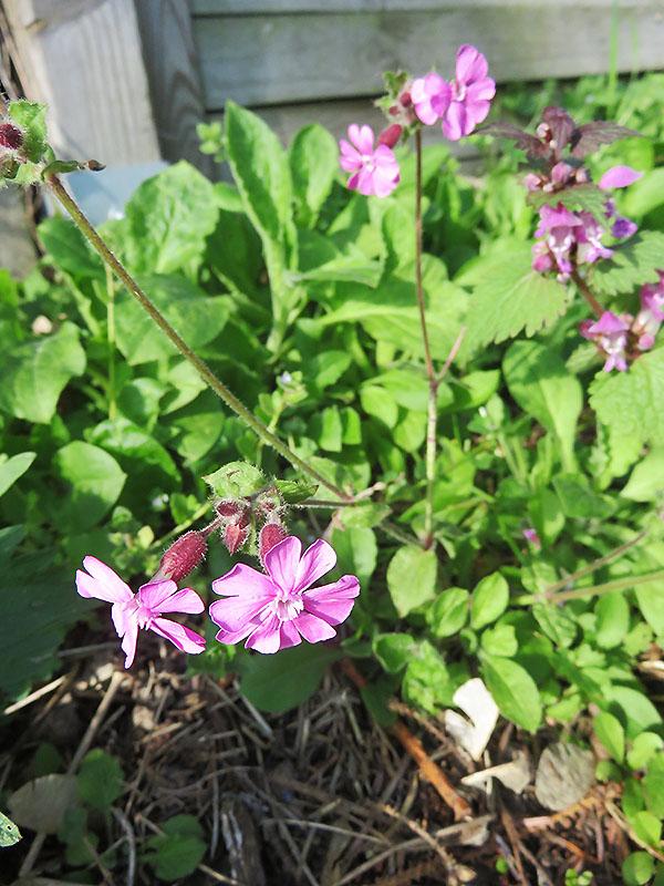 Magentafarbene Wildblumen