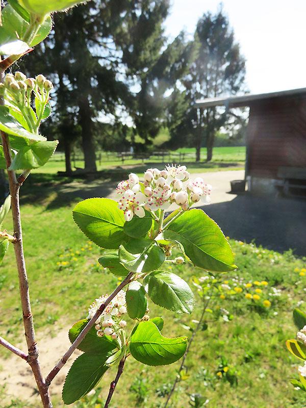 Blüte der Apfelbeere