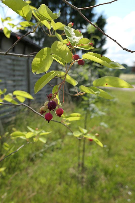 Früchte der Felsenbirne