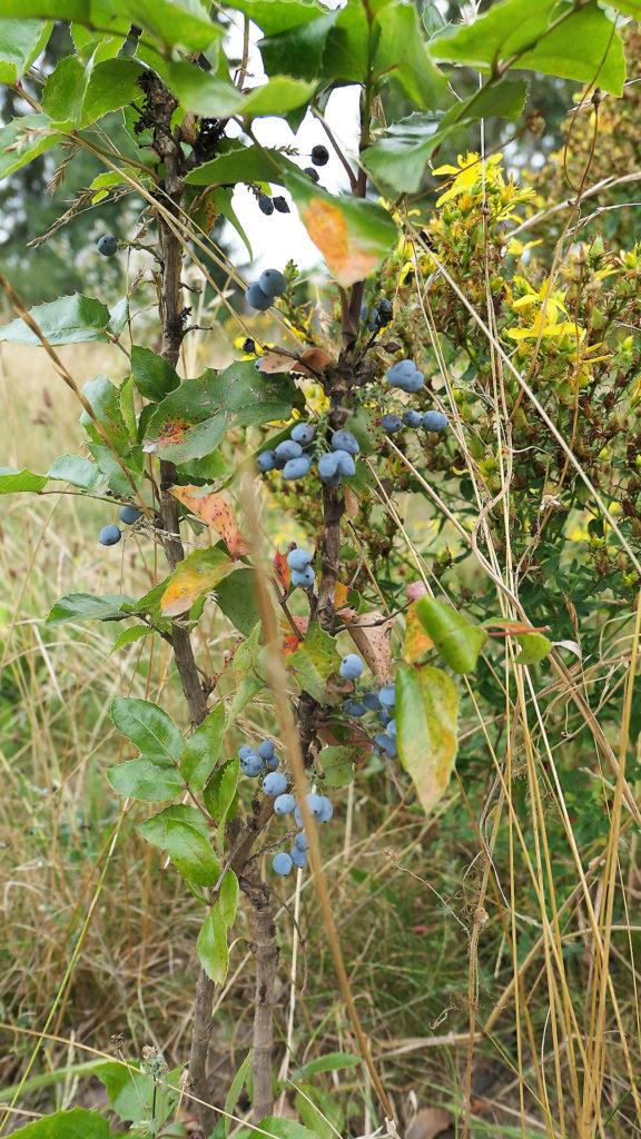 Früchte der Mahonie