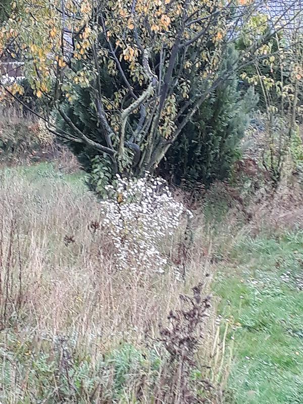 Berufkraut als Solitärpflanze im Herbst