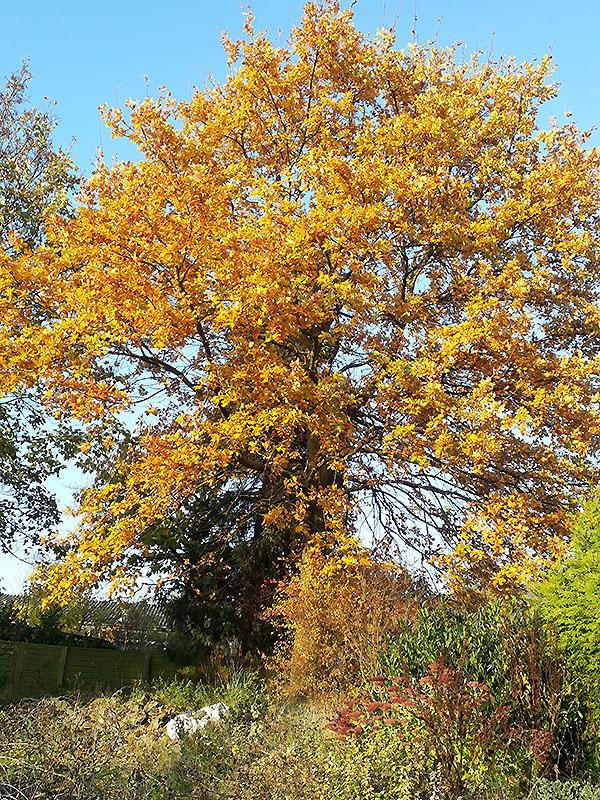 Eiche im Herbstgewand