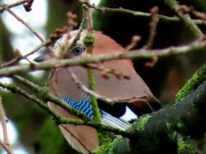 Eichelhäher im Baum