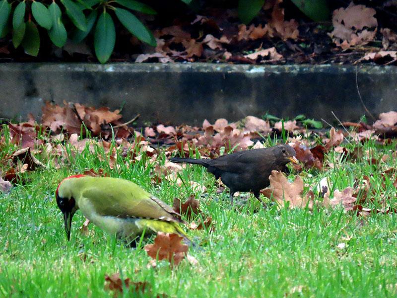 Grünspecht und Amsel im Garten
