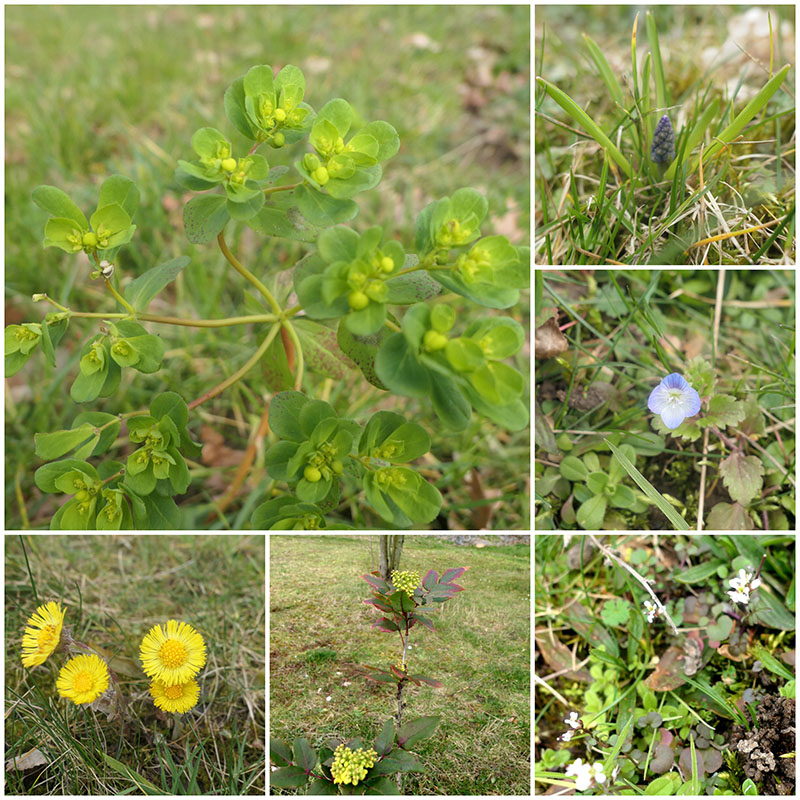 Wolfsmilch, Butterblumen, Mahonie, Muscari (Hyazinthe), u.a.