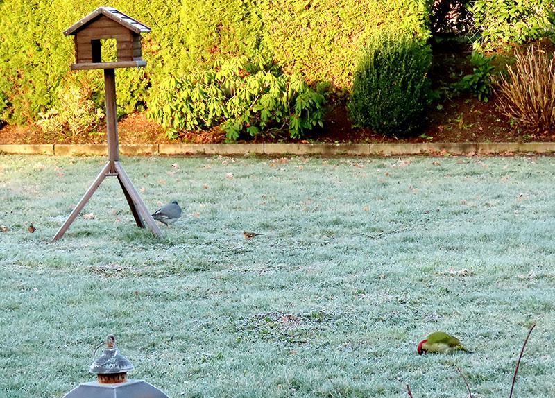 Buchfinken, Taube und Grünspecht