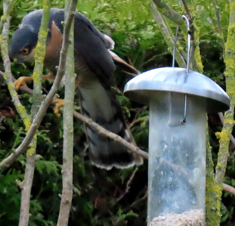 Ein Sperber interresiert sich für das Treiben der kleinen Vögel