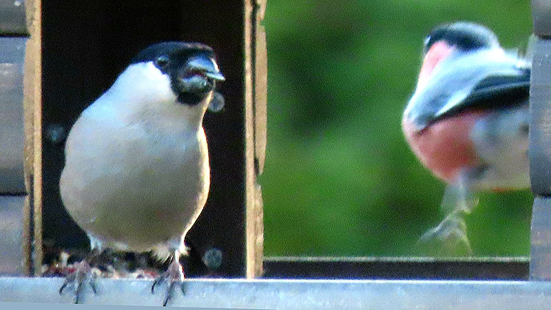 Gimpel (Weibchen, vorne; Männchen, hinten)