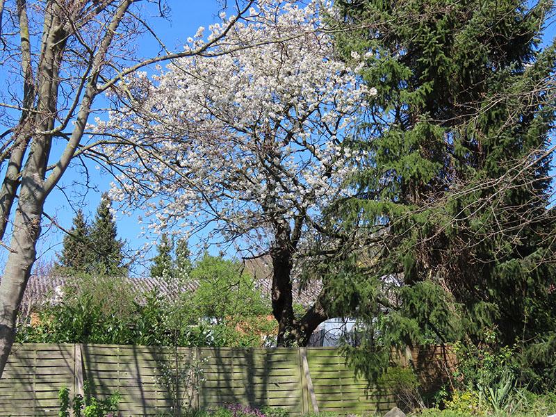 Kirschbaum in voller Blüte