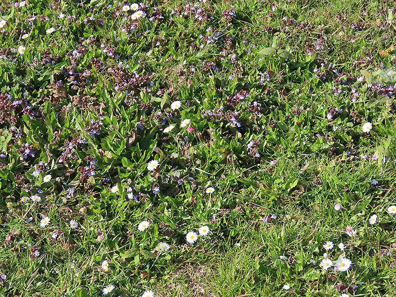 Gundermann und Gänseblümchen
