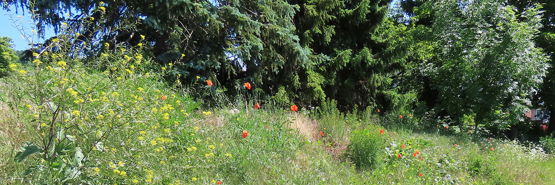 Wall mit Acker-Senf, Mohnblumen und Wiesen-Kerbel