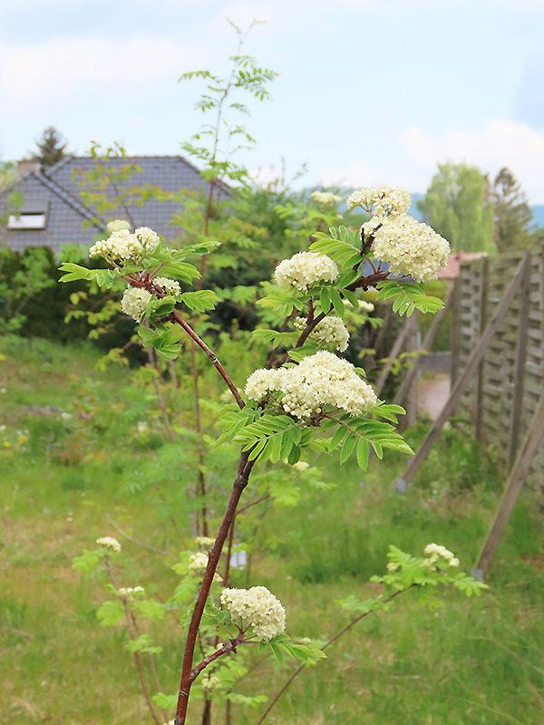 Blüten der Eberesche