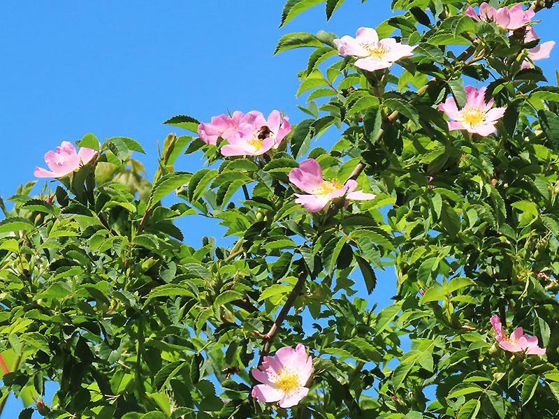 Hummel in Heckenrosenblüte