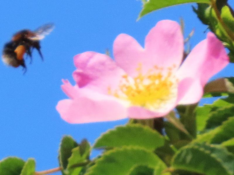 Hummel im Anflug auf eine Blüte der Heckenrose