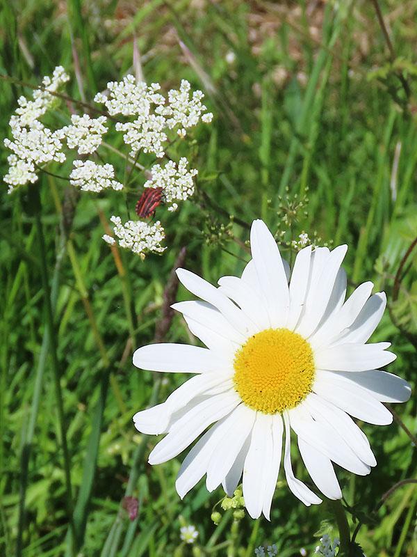 Blüte der Margerite