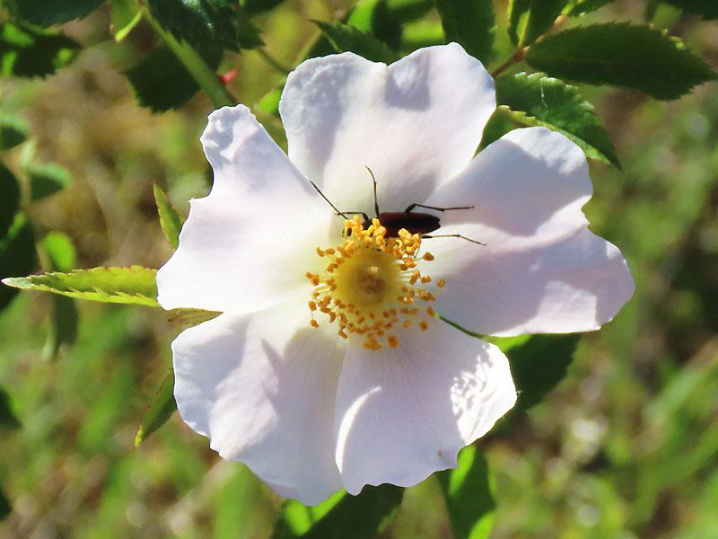 Blüte einer Heckenrose mit Gast