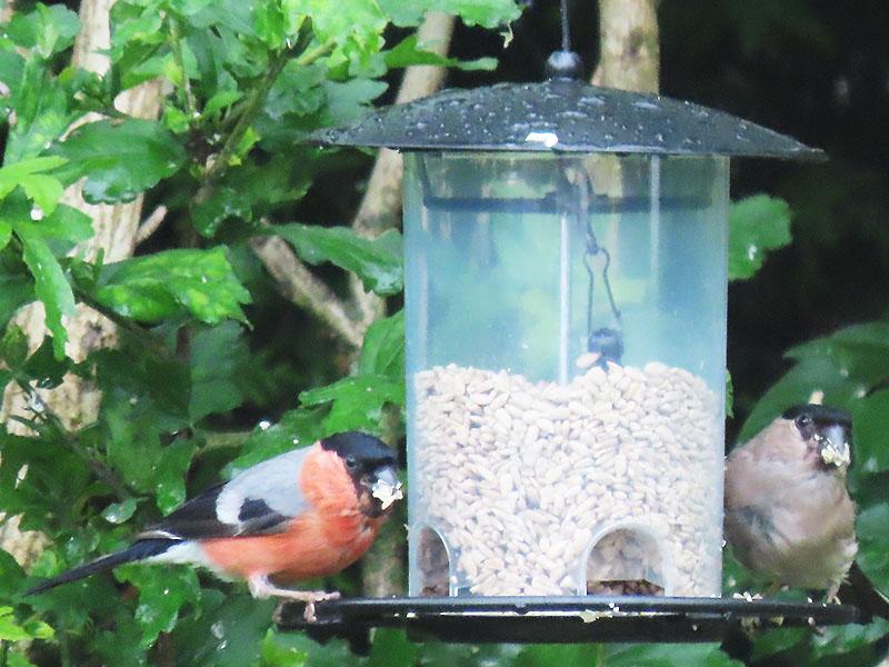 Gimpel (Männchen, links mit roter Brust, Weibchen, rechts mit grauer Brust)