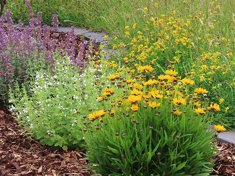Von vorne nach hinten - Mädchenauge (orange), Bergminze (weiß), Fingerkraut (gelb), Katzenminze 'Six Hills Giant' (violett)