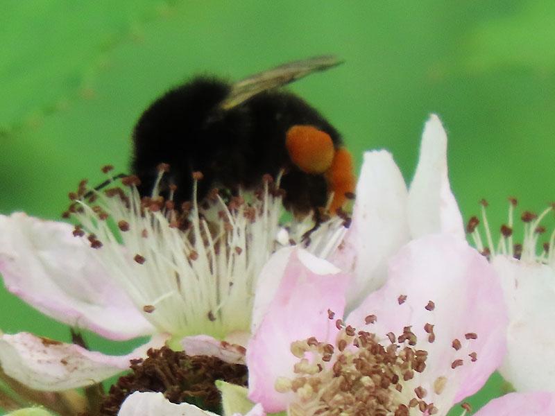 Hummel mit Pollenkörbchen auf einer Brombeere