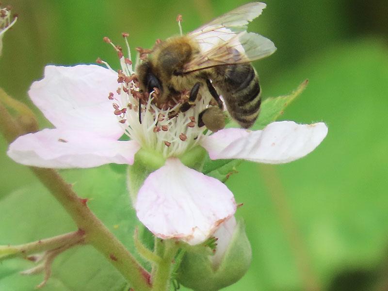 Honigbiene mit Pollenkörbchen am Bein auf einer Brombeere