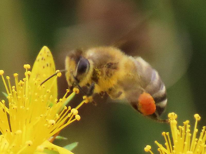 Honigbiene mit Pollenkörbchen am Bein im Anflug auf Johanniskraut