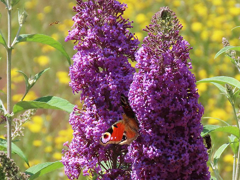 Verschiedene Insekten am Schmetterlingsflieder