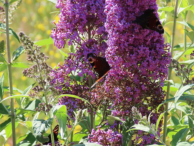 3 Tagpfauenaugen auf einem Schmetterlingsflieder