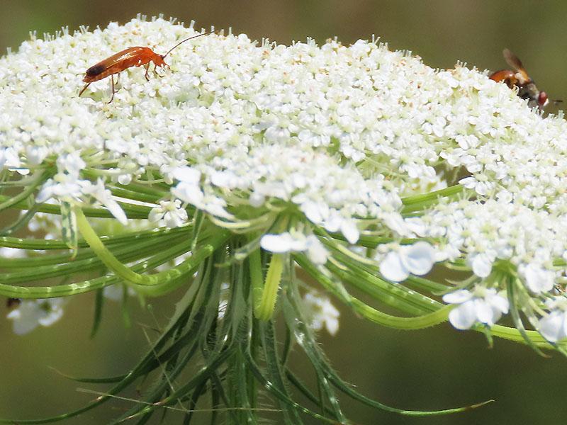 Weichkäfer und Fliege auf einer Wilden Möhre