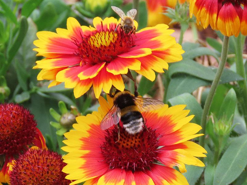 Biene und Gartenhummel auf Mädchenauge