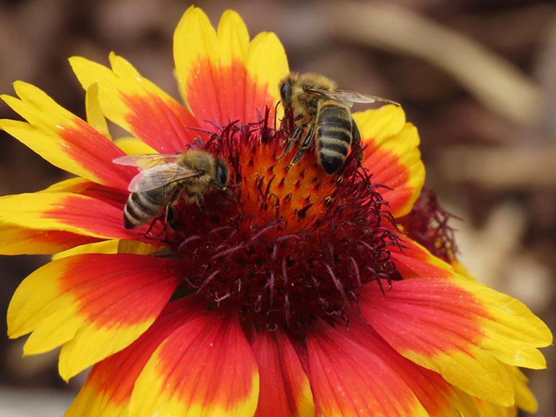 Bienen auf Mädchenauge