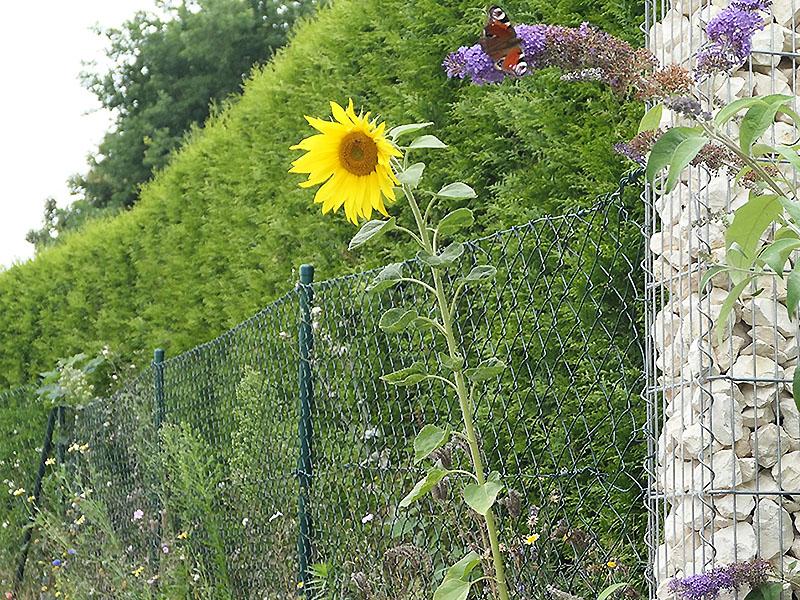 Sonnenblume und Tagpfauenauge an der Grundstücksgrenze