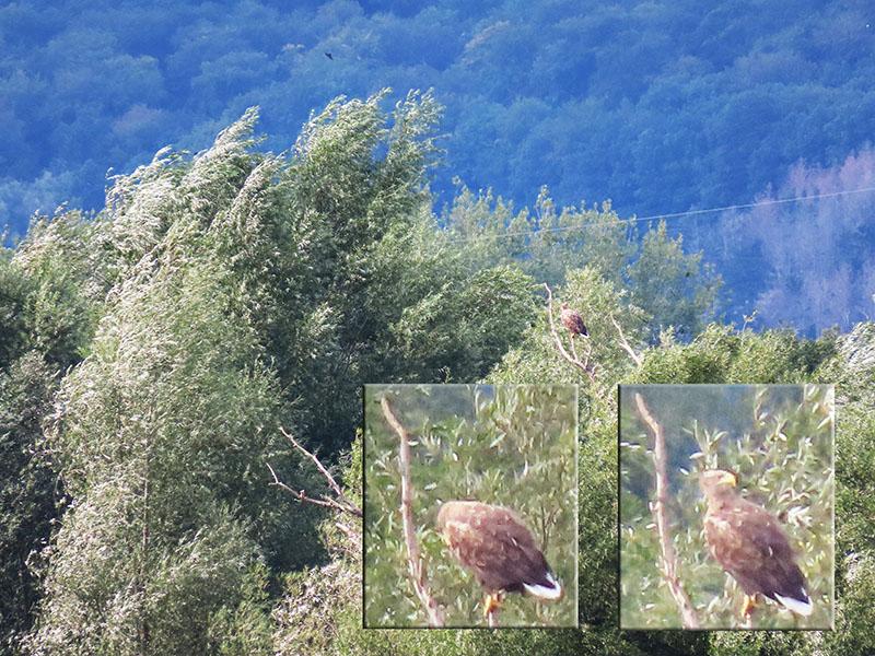 Adler in der Auenlandschaft