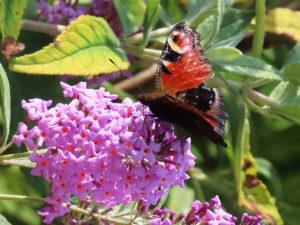 Tagpfauenauge auf Schmetterlingsflieder im September