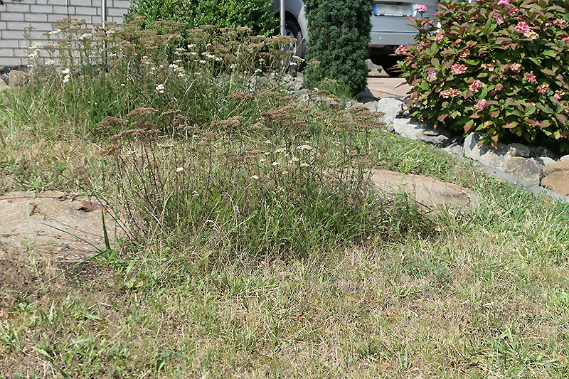 Verblühte Schafgarbe im August