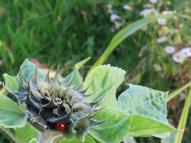 Marienkäfer und Sonnenblume im November