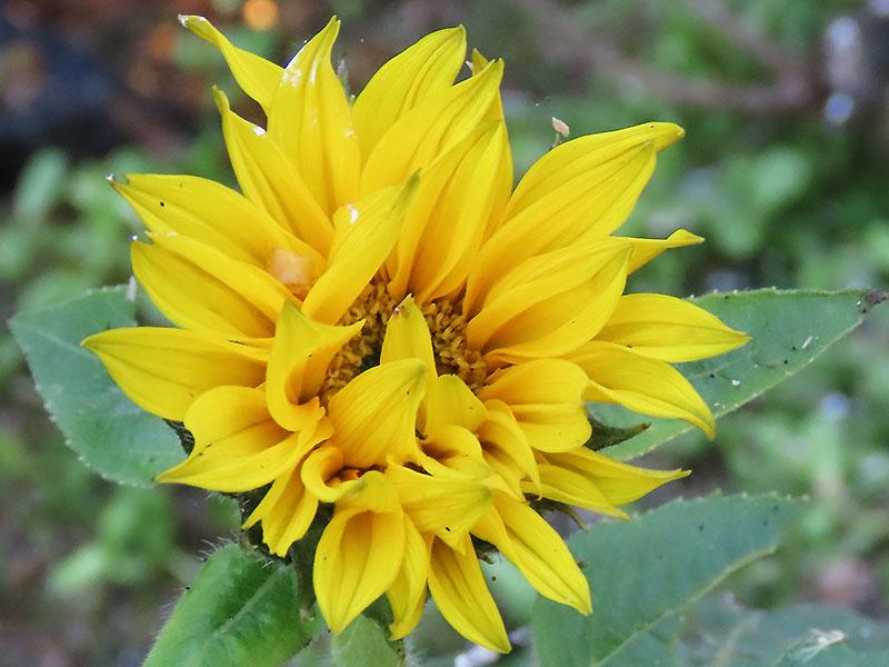 Kleine Sonnenblume im November - Dem Vogelfutter sei Dank. ;-)