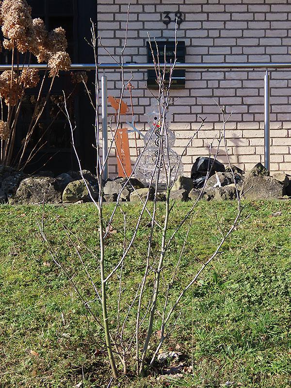Magnolie im Vorgarten am 21.02.2021