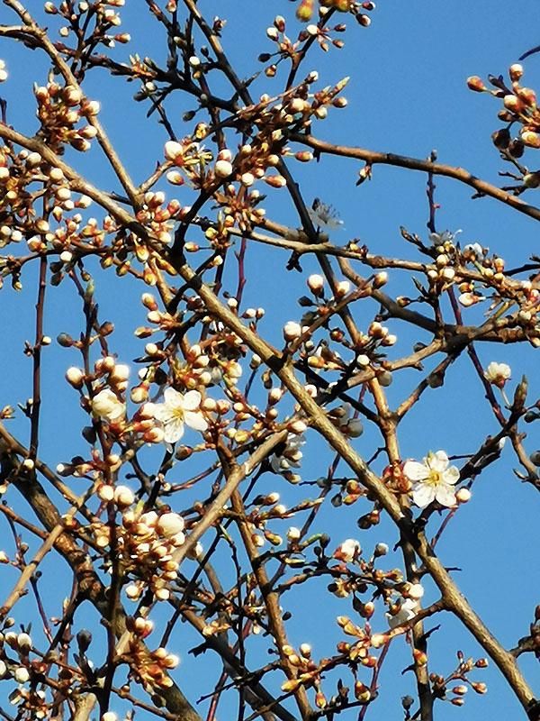 Blüte des Mirabellenbaums