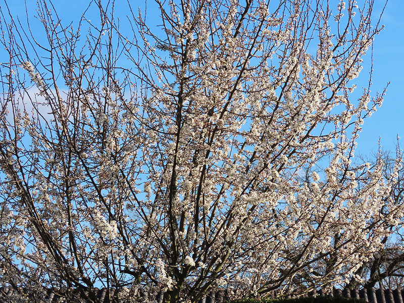 Unser Mirabellenbaum in fast voller Blüte