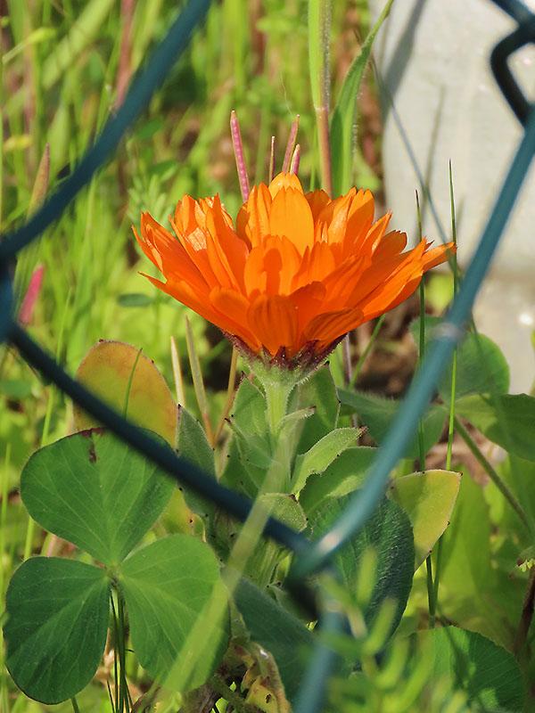 Blume aus Samenmischung