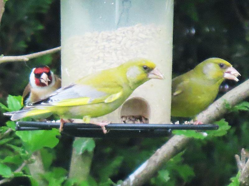 Zwei Grünfinken und ein Distelfink (Stieglitz)