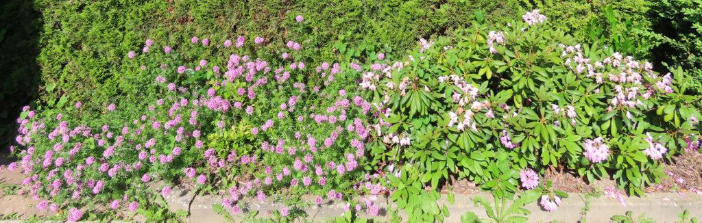 Rosenwaldmeister vs. Rhododendron