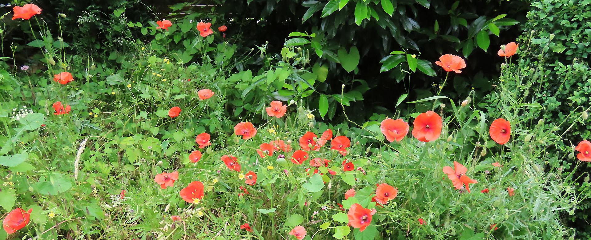 Einige Mohnblumen