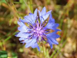 Blaue Flockenblume