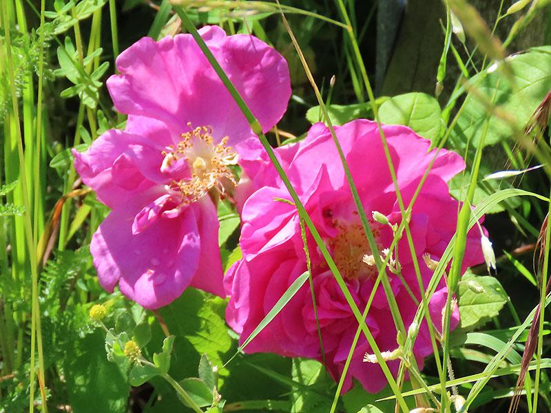 Wildrose (Rosa woodsii)