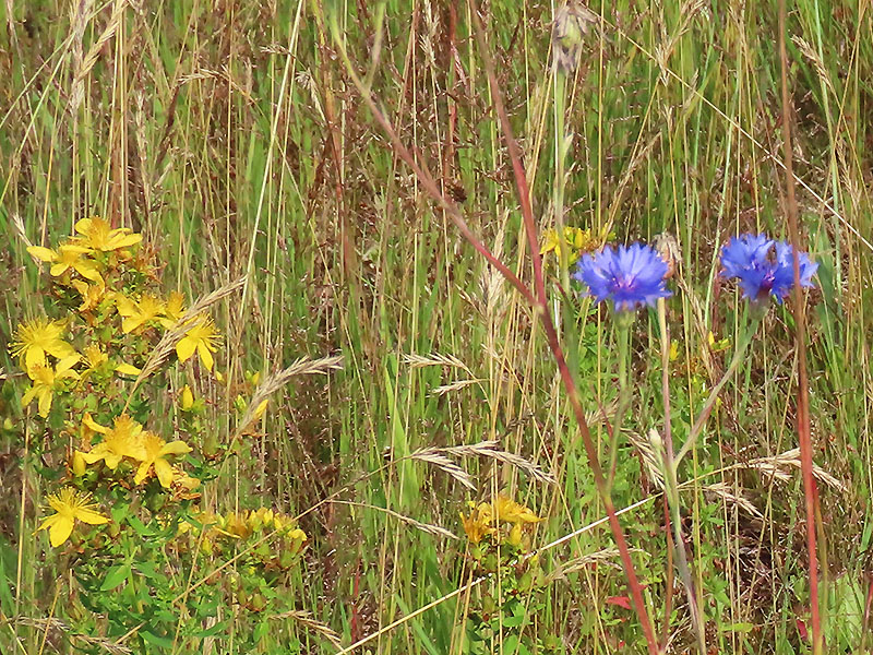 Johanniskraut (gelb) und Kornbume (blau)