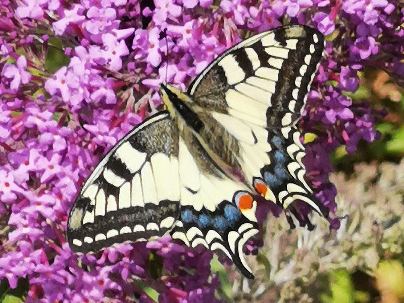 Schwalbenschwanz (Schmetterling)